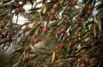 medium_olive.3.jpg
