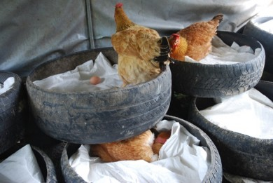 Free range layers, organic eggs, grassfed eggs, used tires, used tire nests, uses for used tires,