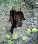 dry borer hole after kerengga.JPG
