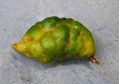 nam nam, katak puru, Cynometra cauliflora, rare fruits, heritage fruits,