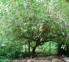 mulberry tree 2 Web.JPG