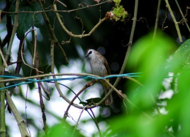 punai tanah, emerald dove, starling, asian glossy starling, tailor bird, bulbul, yellow vented bulbul, bird sanctuary,