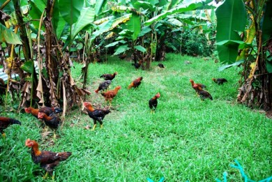 grass fed chicken,pastured chicken,free-range chicken,organic chicken,omega 6: omega 3 ratio,omega 3,dha,ayam kampung,cornish crosses,kabir,sasso