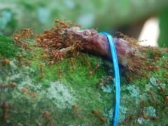 carnivorous ants.JPG