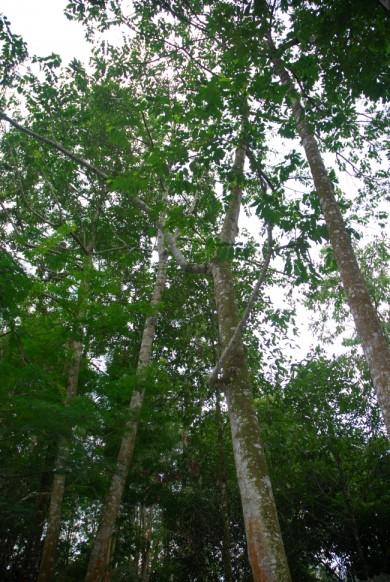 agro forestry, permaculture, meranti, nyatoh, pulai, rain trees,