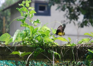 common yellow birdwing butterfly,troides helena,rare butterflies