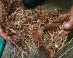black turmeric, kunyit hitam,temu hitam, kali haldi,curcuma aeruginosa, curcuma caesia
