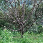 dead tree from borers.JPG
