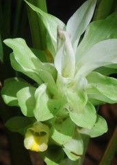 kunyit flower close up 2.JPG