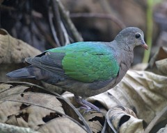 emerald pigeon.jpg