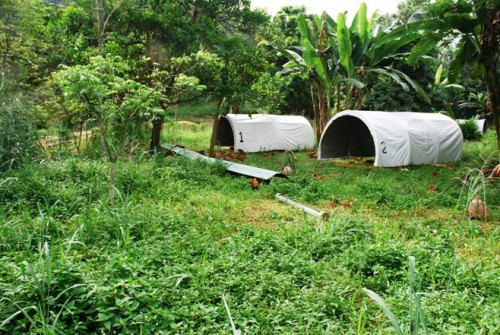 hoop houses,pastured poultry system,free-range chicken,organic chicken,ayam kampung