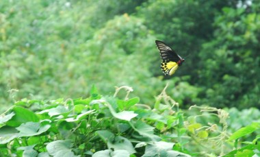 common yellow birdwing butterfly, helena troides, rare butterflies,