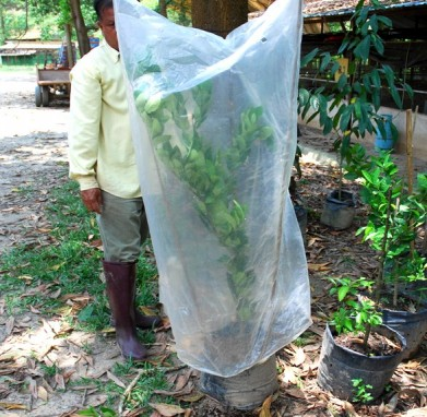 marcotting, air layering, lemon, organic, permaculture,