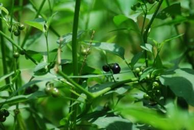 wildcrafted food, solanum nigrum, daun meranti,