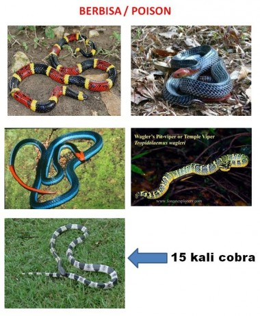 snakes in farming, paradise tree snake, malayan krait, blue krait,