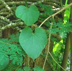 patawali leaf 2 Web.JPG