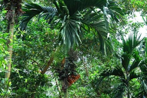marcotting,air layering,areca nut,pokok pinang,areca palm,areca nut fiber