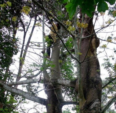Kapok, Ceiba pentandra, sustainable farming, sustainable forestry, income generating forest trees,