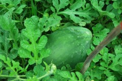 watermelon raised bed healthy leaves n fruits Web 2.JPG