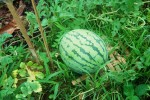 watermelon close up weeds Web.JPG