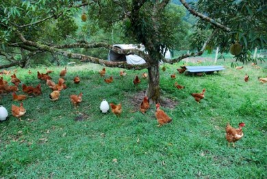 free range layers,organic eggs,grassfed eggs,used tires,used tire nests,uses for used tires