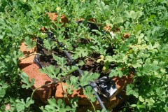 watermelon raised bed Web 3.JPG