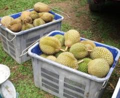 durian1web.JPG