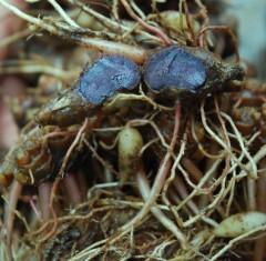 black turmeric,kunyit hitam,temu hitam,kali haldi,curcuma aeruginosa,curcuma caesia