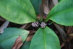 kacip fatimah flower2.JPG
