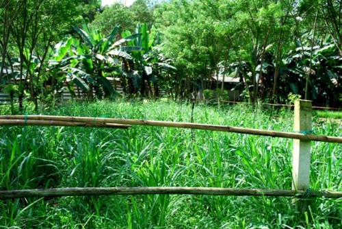 permaculture,napia grass,sustainable agriculture,organic farming,natural sun-shading,passion fruits,swales,earth drains,retention ponds