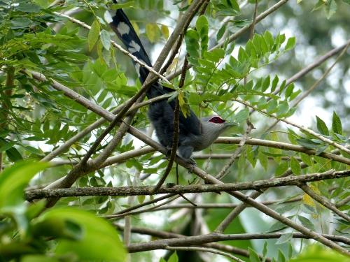 phaenicophaeus tristis,green-billed malkoha,rare birds,malkoha,non-parasitic cuckoo