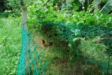 permaculture, free range chickens, sun shading, passion fruit, markisa, ramadan,