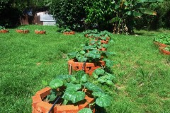 pumpkin plants on raised beds Web.JPG