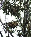kerengga nests.JPG