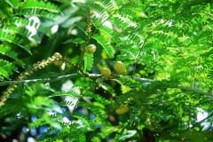 mimosafruits.JPG