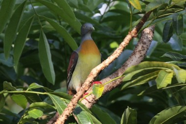 little green pigeon,treron olax