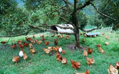 egg laying chickens, free range layers, free range eggs, organic eggs, grass fed eggs, grassfed chickens,