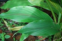 curcuma mangga leaf Web.JPG